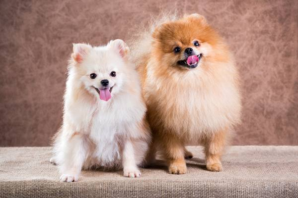 Portrait two Pomeranian dog
