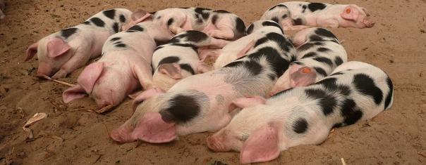 porcos FotoHeribert Duling via Wikimedia Commons