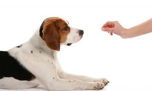 adestramento cachorro cão
