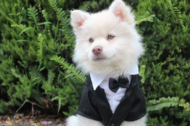 cachorro terno fantasia pixabay