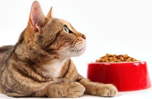 gato pote comida