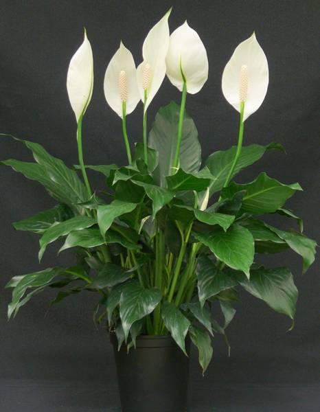 lirio-da-paz-spathiphyllum- mercado livre