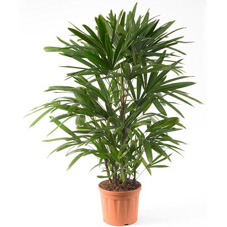 palmeira rafia fasgrowingtress