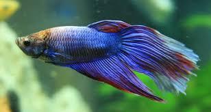 peixe betta bettafish.org