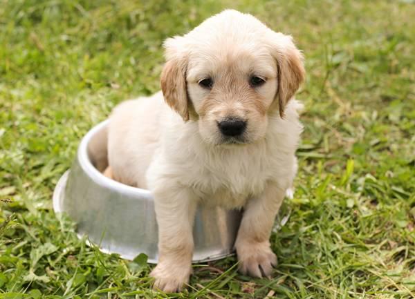 Cachorro filhote golden