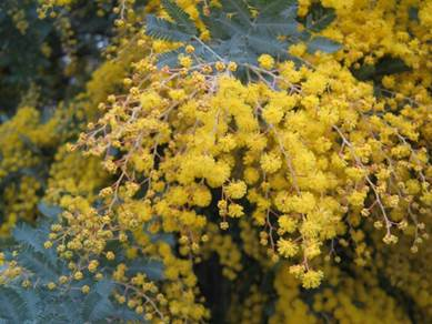 golden wattle.png