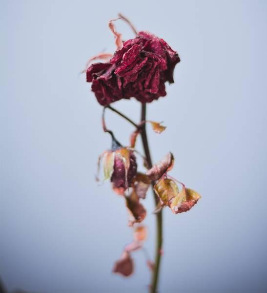 rosa morta.jpg