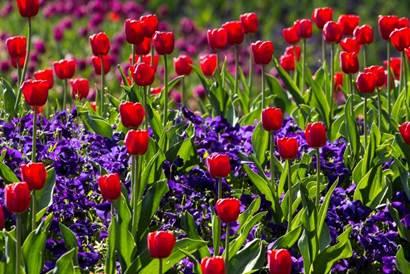 tulipa.png
