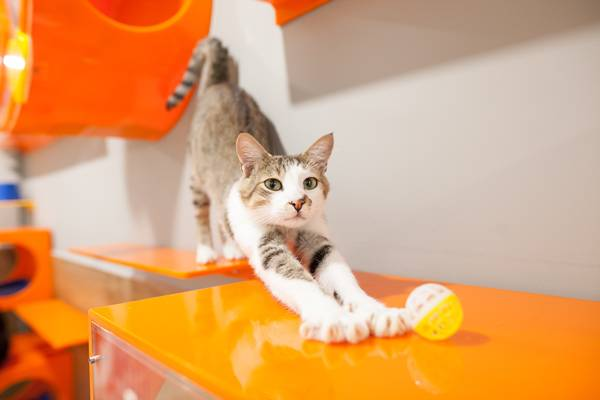 Petz adoção gatil 2