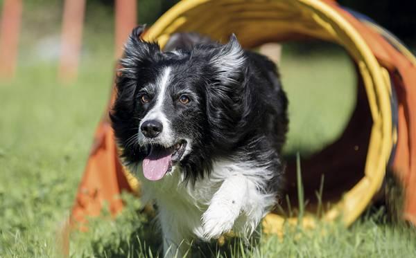 cachorro brincando agility