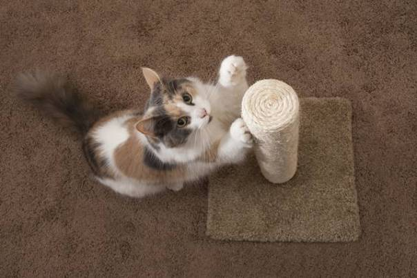 gato arranhador gata