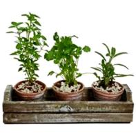 trio de ervas giuliana flores