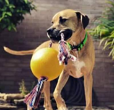 cachorro brincando brinquedo.png