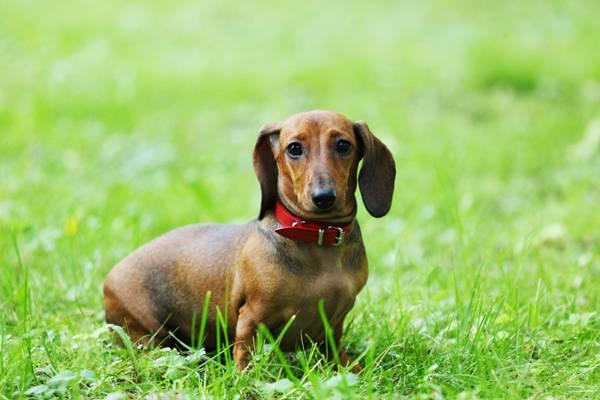 cachorro dachshund
