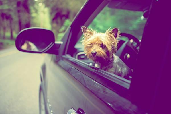 cachorro na janela do carro