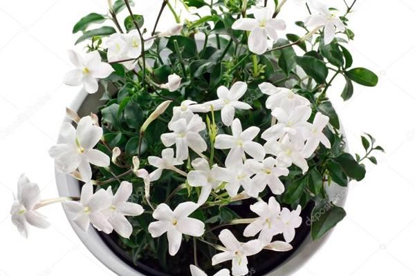 depositphotos stock-photo-closeup-jasmim -flowering-plant-in