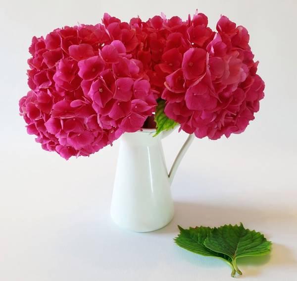 hortensia pixabay