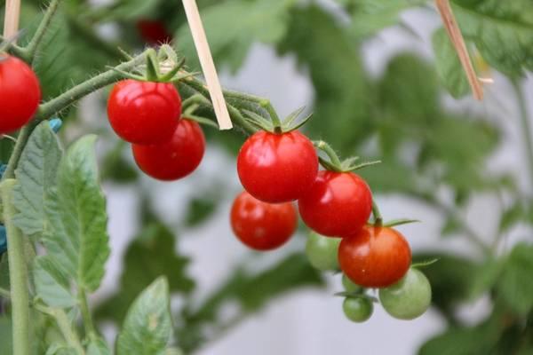 tomates cereja pixabay