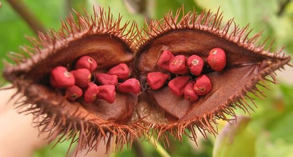 urucum-bixa_orellana_fruit_open