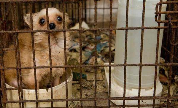 chihuahua canil ilegal sxntini.jpg