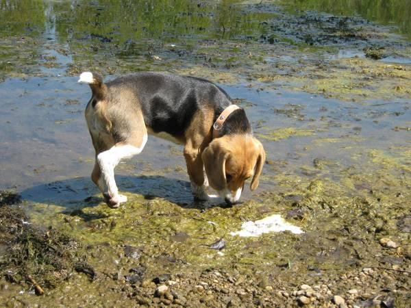 cachorro beagle passeio agua