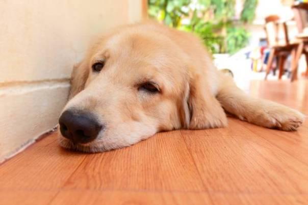 cachorro deitado cansado doente.jpg