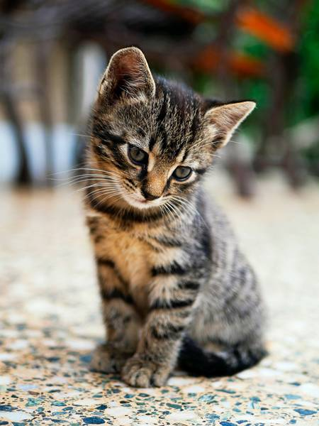 gato filhote