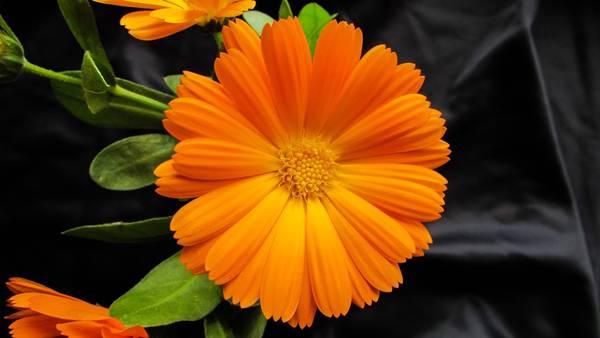 calendula flor pixabay