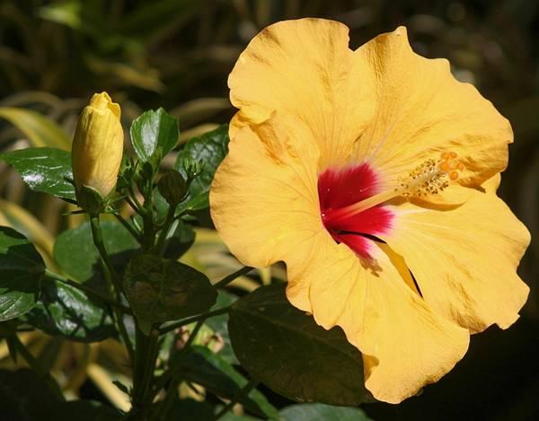 hibiscus pixabay