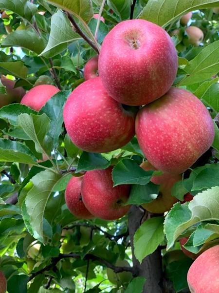 maças macieira