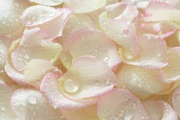 petalas de rosa branca