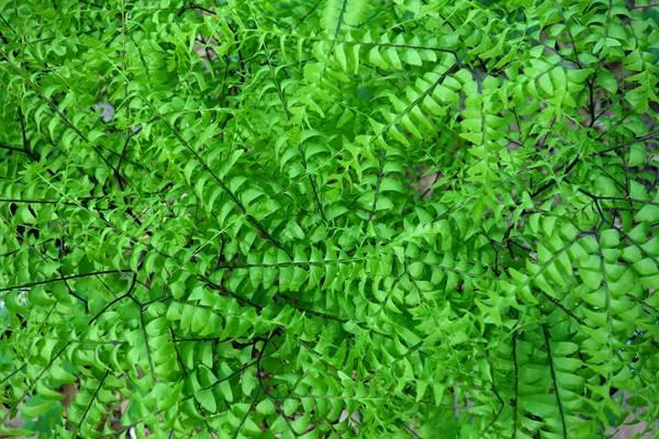 adiantum-pedatum- avenca planta pixabay