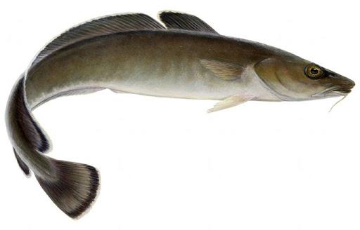 bacalhau ling