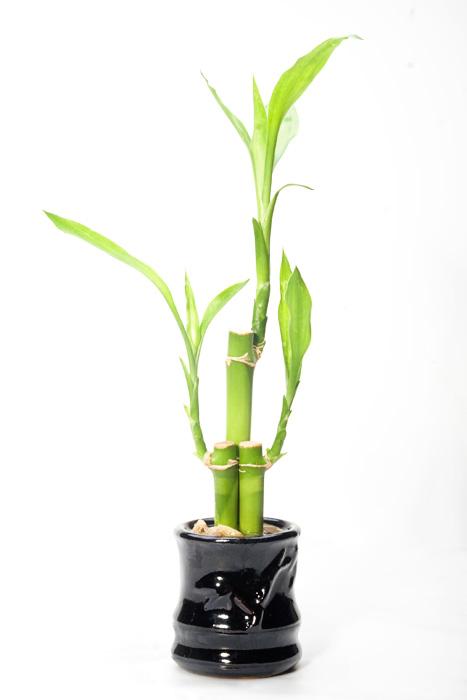 Lucky_bamboo bambu da sorte