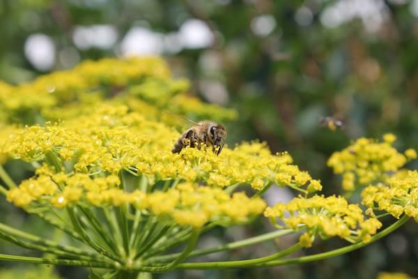 erva doce abelhas Hheidi por Pixabay