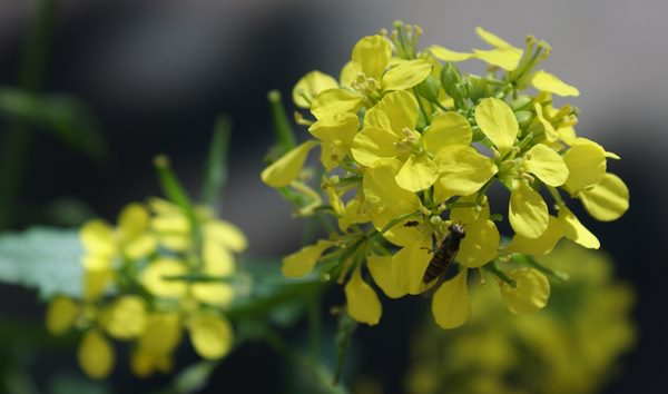 mostarda planta FotoRieth por Pixabay